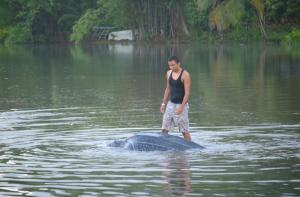 leatherback turtle in river
