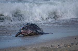 Turtle return to sea